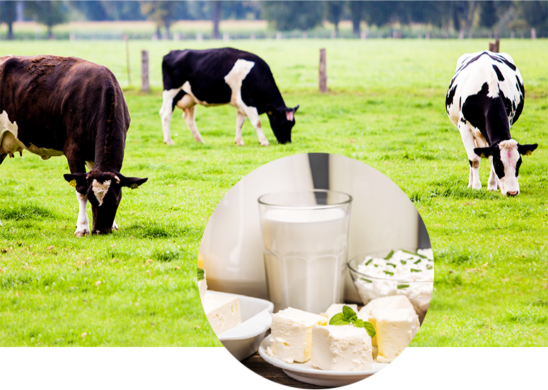 section-1-cows-grazing.jpg/dairy cows grazing in a field